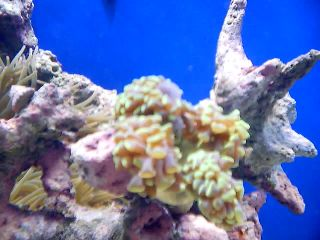 Hammer Coral has developed a bubble-hammer-004sm.jpg
