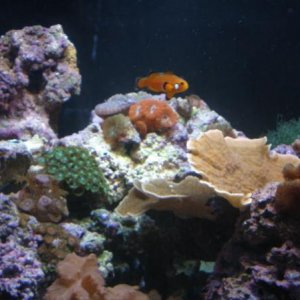 Corals and Almost Naked Clown Fish on 8-1-09